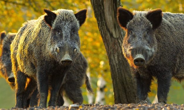 Texas House orders for more research before using poison on feral hogs
