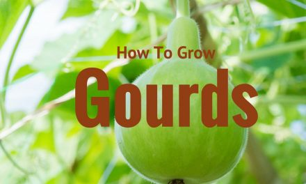 On The Grow – Growing Gourds