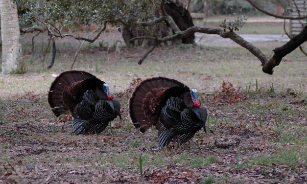 Wild Turkey Season is here for Red River and Lamar County