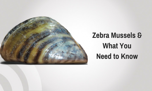 Zebra Mussels & What You Need to Know