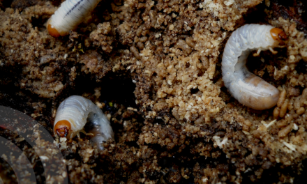 Controlling Grubs in Texas by Stephanie Suesan Smith, Ph.D.