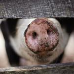 Kiss a Pig fundraiser to benefit North Lamar cheerleaders
